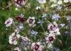 Dianthus 'Lady Granville'