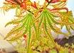 Acer palmatum 'HigasaYama'