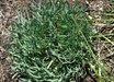 Allium senescens ssp. glaucum 'Blue Eddy'