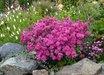 Dianthus plumarius 'Pinkerton'