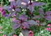 Amaranthus cruentus 'Oeschberg'