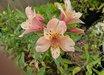 Alstroemeria 'Butterscotch'