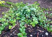 Arctostaphylos edmundsii 'Rosy Dawn'
