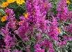 Agastache cana 'Purple Pygmy'
