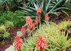 Aloe x spinosissima