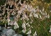 Dierama pulcherrimum 'Snowbells'