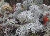 Artemisia versicolor 'Seafoam'