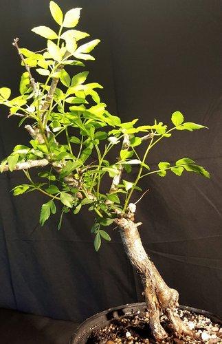 Medicinal Plant Rare Succulent, Aromatherapy Tree Bursera microphylla Bonsai Caudex Frankincense Tree