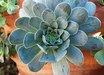 Aeonium aureum [Gran Canaria form]