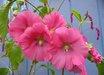 Alcea ficifolia [pink]