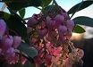 Arctostaphylos manzanita 'Upstanding'