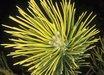 Pinus parviflora 'Ogon'