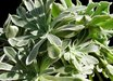 Aeonium pyrenees
