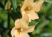 Mimulus aurantiacus [apricot]