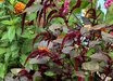 Amaranthus 'Hopi Red Dye'