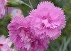 Dianthus plumarius 'Flore Pleno Roseus'