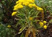Gonospermum