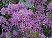 Orchid Lights Azalea
