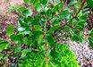 Arctostaphylos glandulosa 'Rogue Gem'