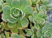 Aeonium decorum var. guarimarense