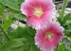 Alcea ficifolia 'Aunt Brownie Fig'