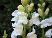 Antirrhinum majus 'Royal Bride'