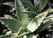 Agave gracilipes 'Guadalupe'