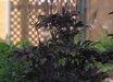 Actaea simplex (Atropurpurea Group) 'Hillside Black Beauty'