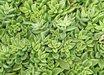 Lenophyllum