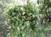 Aeschynanthus micranthus