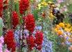Antirrhinum majus 'Giant Scarlet'
