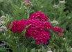 Achillea millefolium (Tutti Frutti series) 'Pomegranate' PP #20763