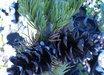 Pinus parviflora 'Gimborn's Pyramid'