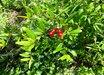 Grenada Pomegranate