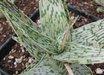 Aloe 'Guido'