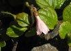 Linnaea