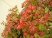 Acer palmatum 'Beni hime'