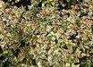 Abelia x grandiflora 'Mardi Gras' PP15203