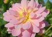 Dahlia 'Lotus'