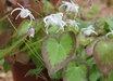 Epimedium grandiflorum 'Spring Wedding'