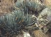 Agave toumeyana ssp. bella [coll. #A3AZ-014]
