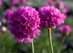 Armeria maritima 'Bright Rose'