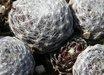 Sempervivum arachnoideum ssp. tomentosum