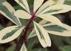 Drimys lanceolata 'Suzette'