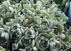 Aeonium saundersii