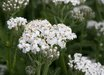 Achillea millefolium 'Mesa Blanca'