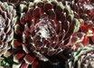 Sempervivum arachnoideum 'Smit's Seedling'