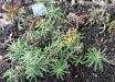 Sedum middendorffianum 'Striatum'