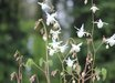 Epimedium x youngianum 'White Cloud'