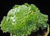 Aeonium tabuliforme 'Green Star'